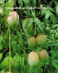 Compendium of Tropical Fruit Diseases